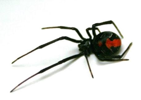 セアカゴケグモを見つけたら報告の必要はあるのか!?退治する方法とは!?