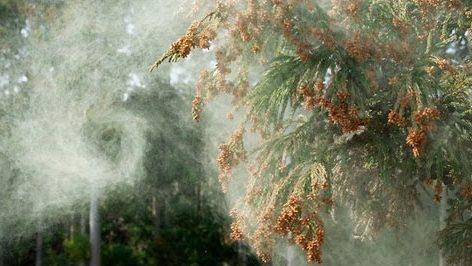 2017年の花粉症!症状や対策は?スギ花粉を食べて花粉症に対抗する方法がある!?