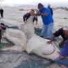 【恐怖】海の帝王シャチがサメを食べ始めた!肝臓だけを抜き取る食べ方に驚愕!!!