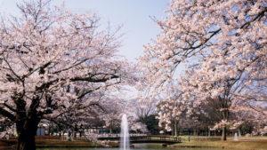 【代々木公園お花見】場所取りのベスト時間や混雑状況は?